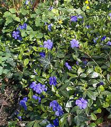 periwinkle_large